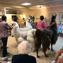 Therapy Llamas Visiting